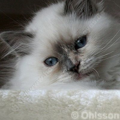 blue tortie point 11 Wochen - © Ohlsson