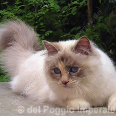 blue tortie point 2 Jahre - © del Poggio Imperale