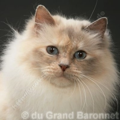 blue tortie point 5 Jahre - © du Grand Baronett