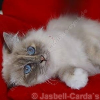 blue tortie tabby point 12 Monate - © Jasbell Carda's