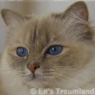 blue tortie tabby point 2,5 Jahre - © Eli's Traumland