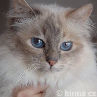 blue tortie tabby point 9 Jahre - © Birma CZ