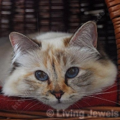 chocolate tortie tabby point 1,5 Jahre - © Living Jewels