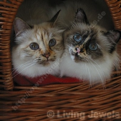 chocolate tortie tabby point 8 Monate - © Living Jewels