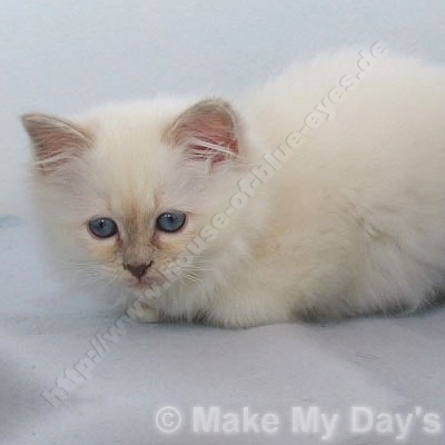 lilac tortie point 11 Wochen - © Make My Day's