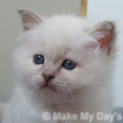 lilac tortie point 5,5 Wochen - © Make My Day's