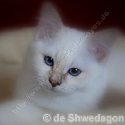 lilac tortie tabby point 3 Monate - © de Shwedagon
