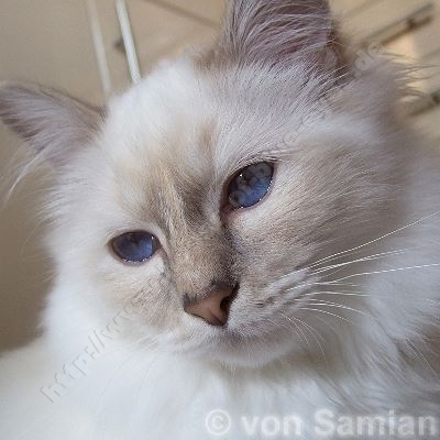 lilac tortie tabby point 8 Monate - © von Samian