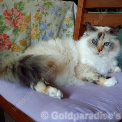 seal tortie point 16 Jahre - ©; Goldparadise's