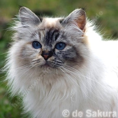 seal tortie tabby point 4 Jahre - ©; de Sakura