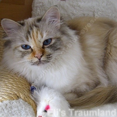 seal tortie tabby point 3,5 Jahre - ©; Eli's Traumland