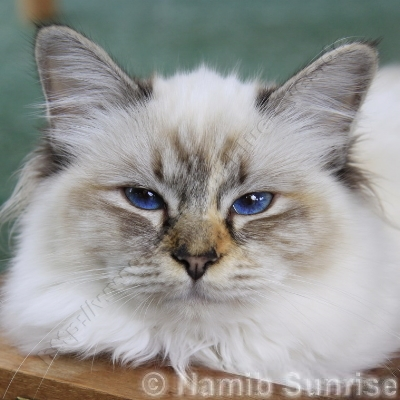 seal tortie tabby point 6 Monate - ©; Namib-Sunrise - Make My Day's